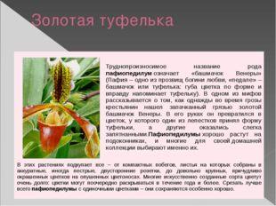 Золотая туфелька Труднопроизносимое названиеродапафиопедилумозначает «башмач