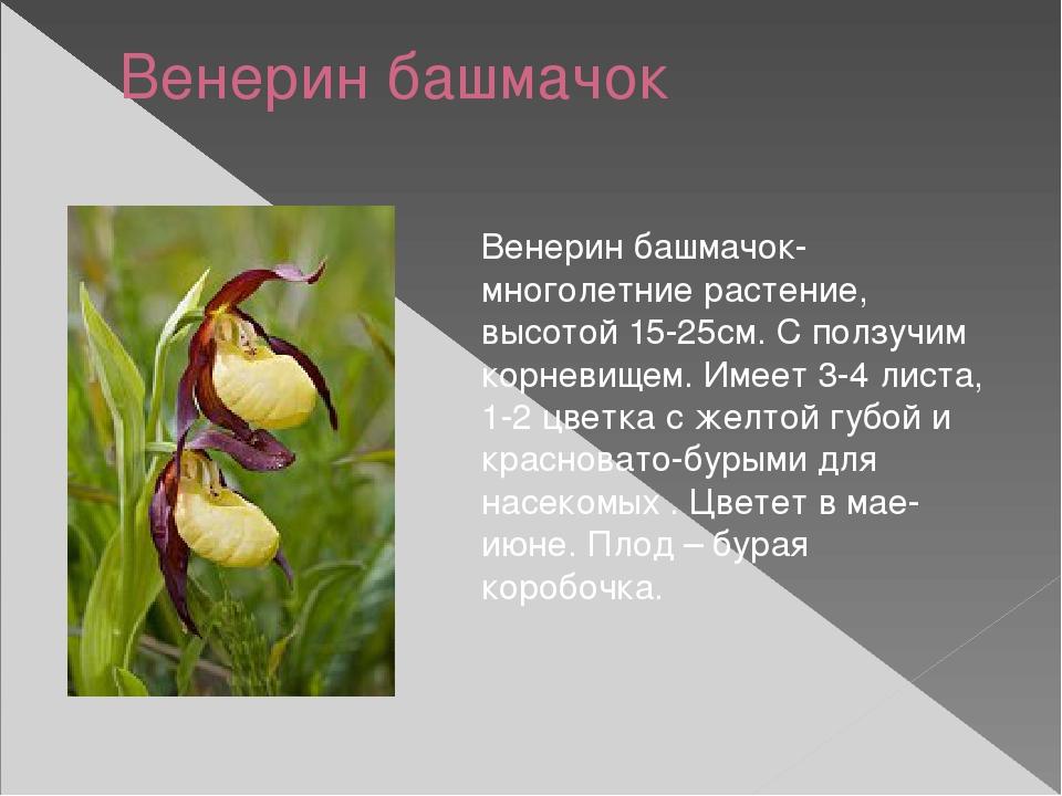 Венерин башмачок Венерин башмачок- многолетние растение, высотой 15-25см. С п...