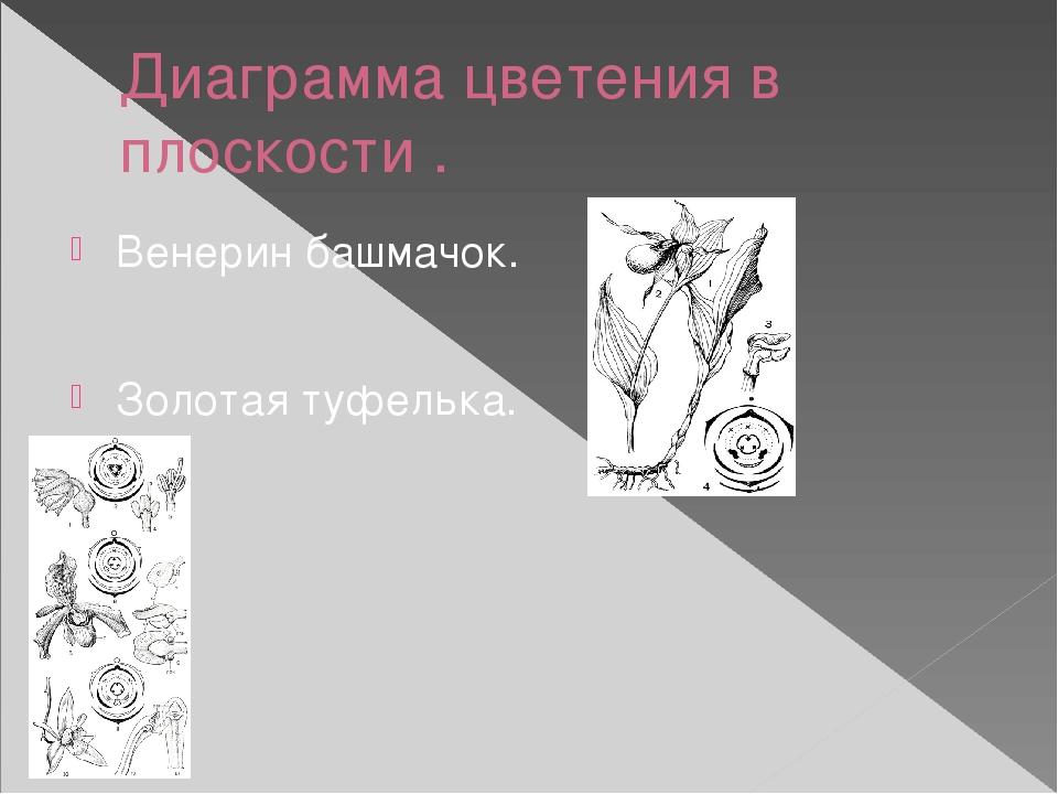 Диаграмма цветения в плоскости . Венерин башмачок. Золотая туфелька.