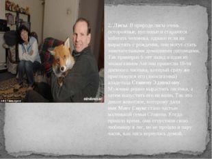 2. 2.Лисы. В природе лисы очень осторожные, пугливые и стараются избегать ч