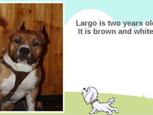 Largo is two years old. It is brown and white.