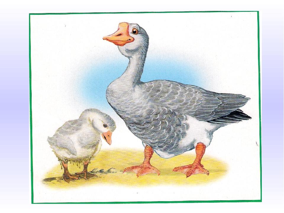 Картинки домашних птицы и их детенышей для