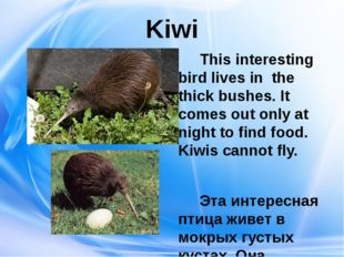 Kiwi This interesting bird lives in the thick bushes. It comes out only at ni