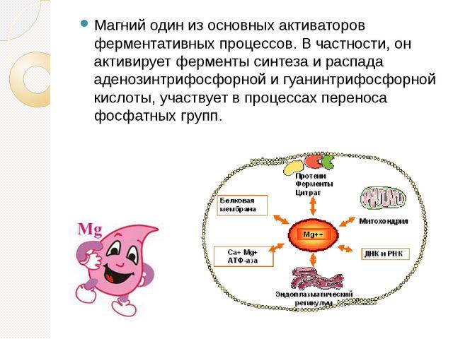 Магний один из основных активаторов ферментативных процессов. В частности, он...
