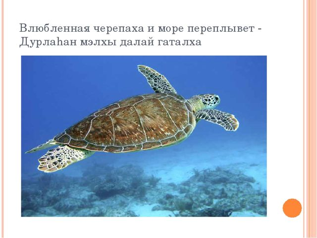 Влюбленная черепаха и море переплывет - Дурлаhан мэлхы далай гаталха