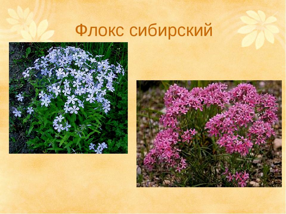 Флокс сибирский