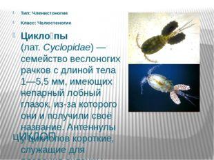 цИКЛОП Тип: Членистоногие Класс: Челюстеногие Цикло́пы (лат.Cyclopidae)— се