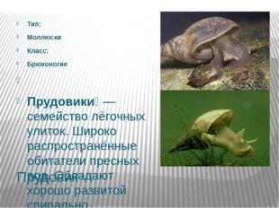 Прудовик Тип: Моллюски Класс: Брюхоногие  Прудовики́— семейство лёгочных ул