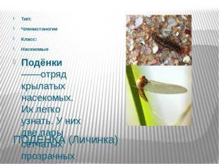 ПОДЁНКА (Личинка) Тип: Членистоногие Класс: Насекомые Подёнки——отряд крылатых
