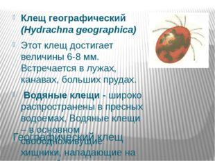 Географический клещ Клещ географический (Hydrachna geographica) Этот клещ дос
