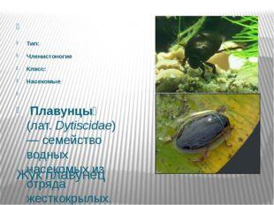 Жук плавунец  Тип: Членистоногие Класс: Насекомые  Плавунцы́ (лат.Dytis