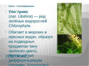 УЛОТРИКС Класс: Ульвофициевые Уло́трикс (лат.Ulothrix)— род зелёных водоро