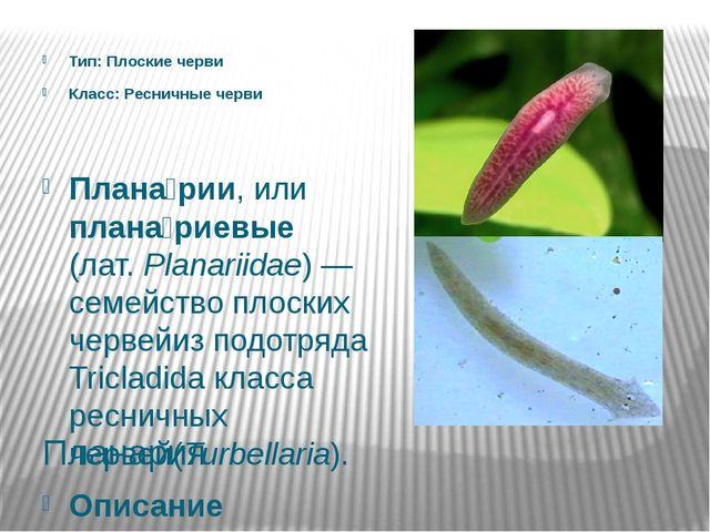 Планария Тип: Плоские черви Класс: Ресничные черви Плана́рии, или плана́риевы...
