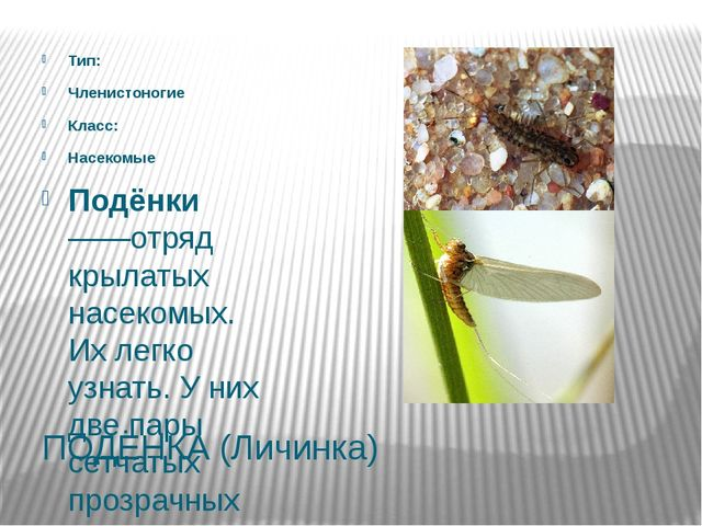ПОДЁНКА (Личинка) Тип: Членистоногие Класс: Насекомые Подёнки——отряд крылатых...