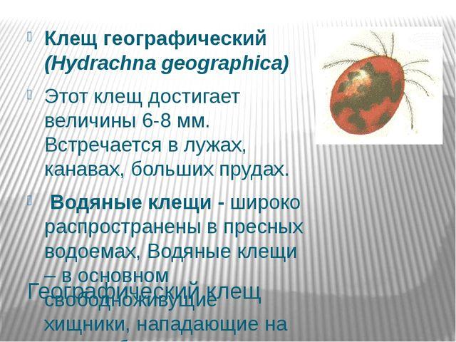 Географический клещ Клещ географический (Hydrachna geographica) Этот клещ дос...