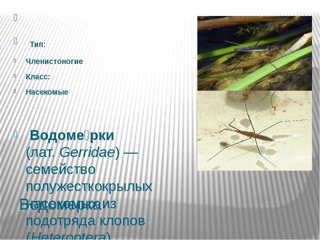 Водомерка  Тип: Членистоногие Класс: Насекомые Водоме́рки (лат.Gerridae...