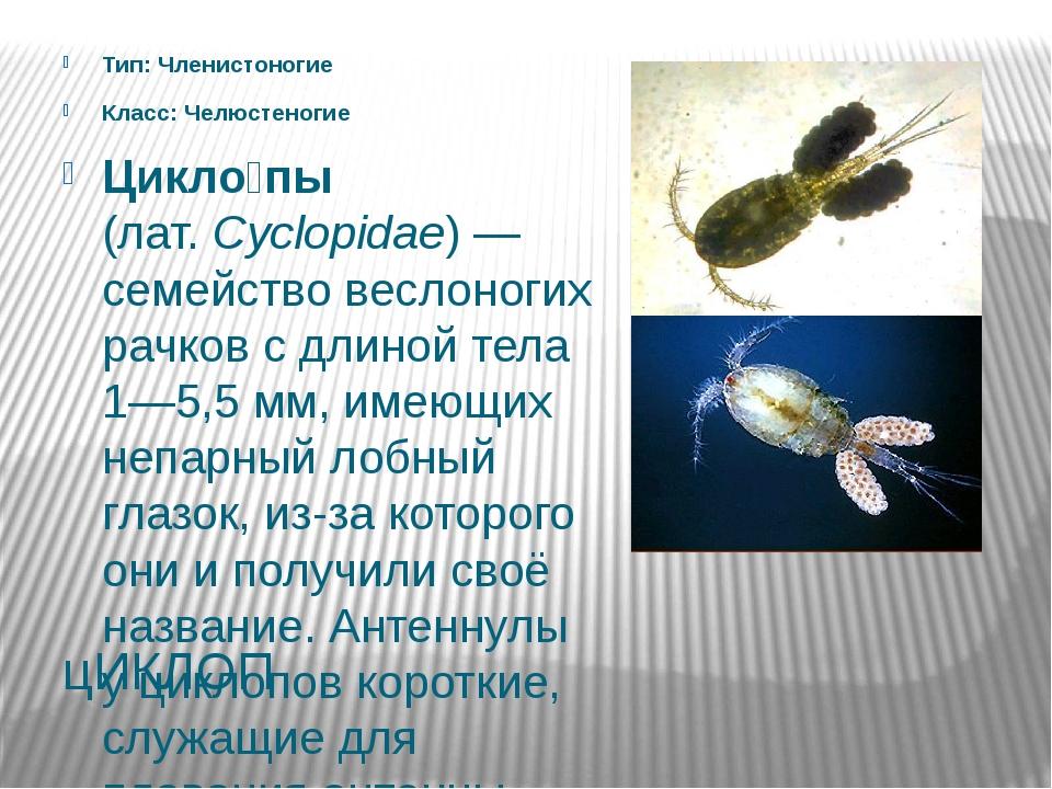 цИКЛОП Тип: Членистоногие Класс: Челюстеногие Цикло́пы (лат.Cyclopidae)— се...