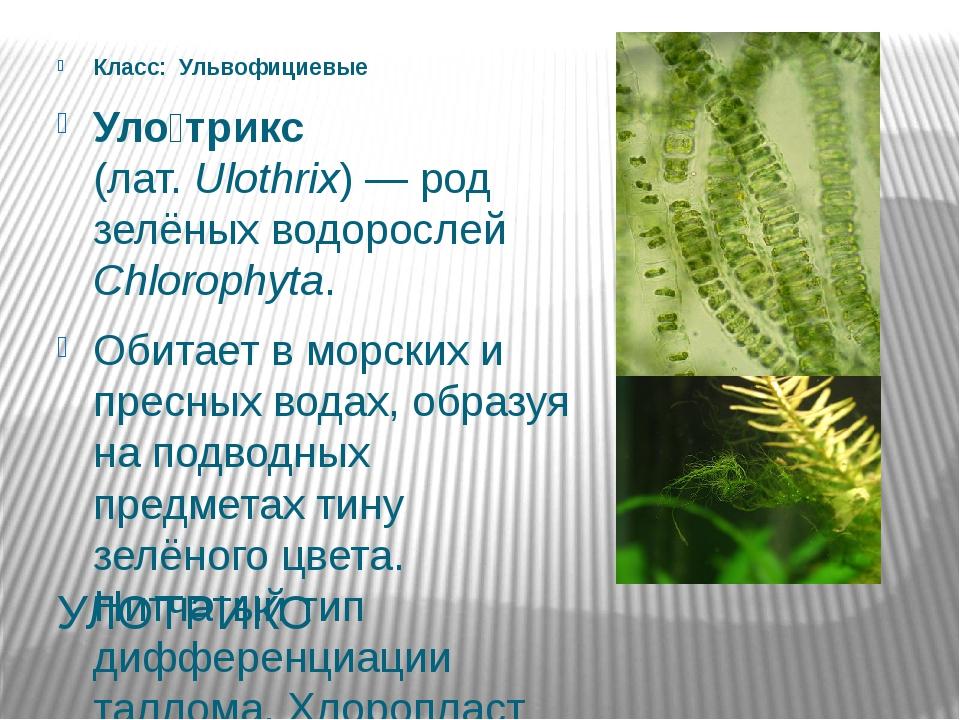 УЛОТРИКС Класс: Ульвофициевые Уло́трикс (лат.Ulothrix)— род зелёных водоро...