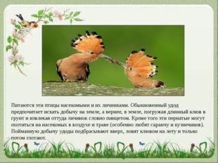 Питаются эти птицы насекомыми и их личинками. Обыкновенный удод предпочитает