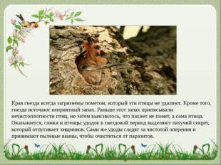 Края гнезда всегда загрязнены пометом, который эти птицы не удаляют. Кроме то