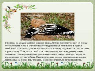 В природе на удодов охотятся хищные птицы, мелкие млекопитающие, их гнезда мо