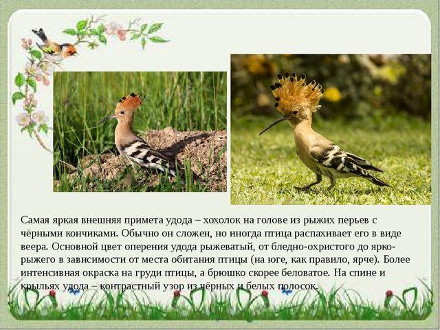 Самая яркая внешняя примета удода – хохолок на голове из рыжих перьев с чёрны...