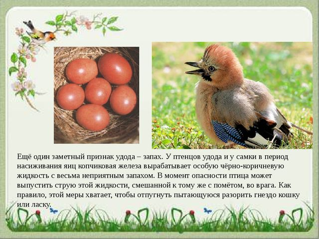 Ещё один заметный признак удода – запах. У птенцов удода и у самки в период н...
