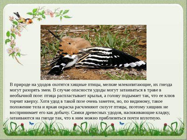 В природе на удодов охотятся хищные птицы, мелкие млекопитающие, их гнезда мо...