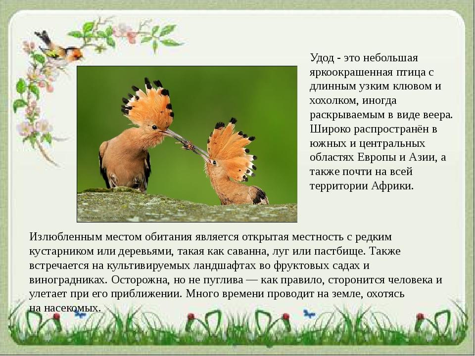 Удод - это небольшая яркоокрашенная птица с длинным узким клювом и хохолком,...