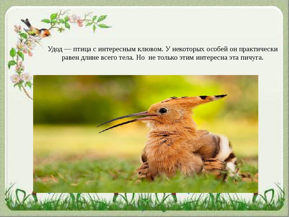 Удод — птица с интересным клювом. У некоторых особей он практически равен дли...