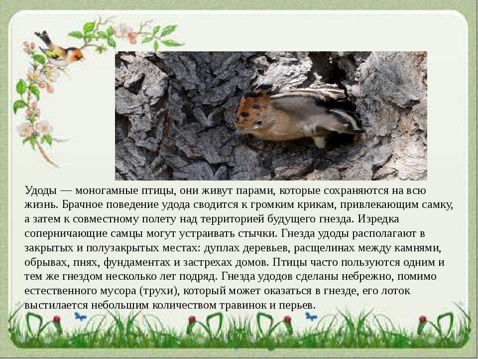 Удоды — моногамные птицы, они живут парами, которые сохраняются на всю жизнь....