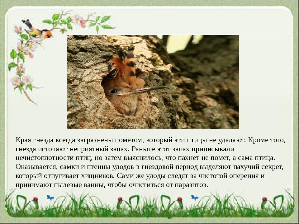 Края гнезда всегда загрязнены пометом, который эти птицы не удаляют. Кроме то...