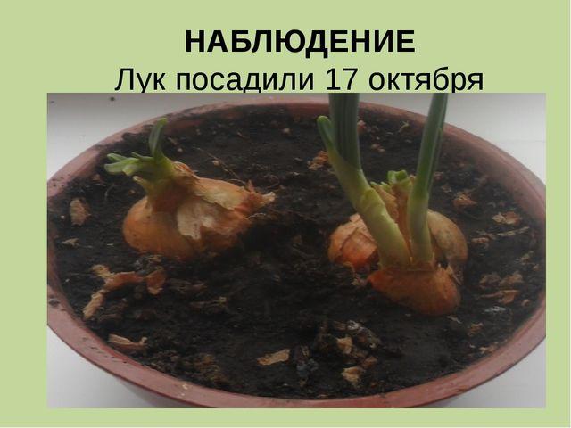 НАБЛЮДЕНИЕ Лук посадили 17 октября