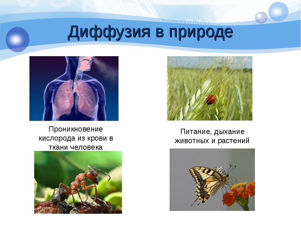 Диффузия в природе Проникновение кислорода из крови в ткани человека Питание,...