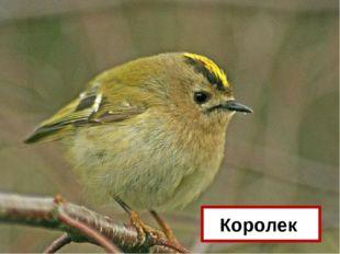 Назовите самую маленькую птицу нашей средней полосы? Королек