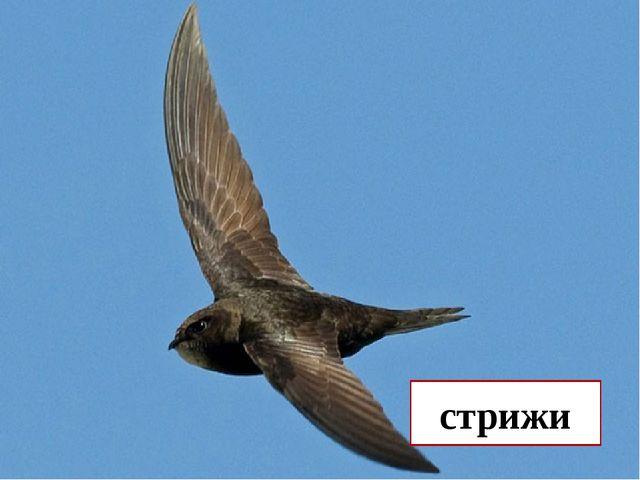 Какие наши птицы не садятся ни на землю, ни на воду, ни на ветки? стрижи