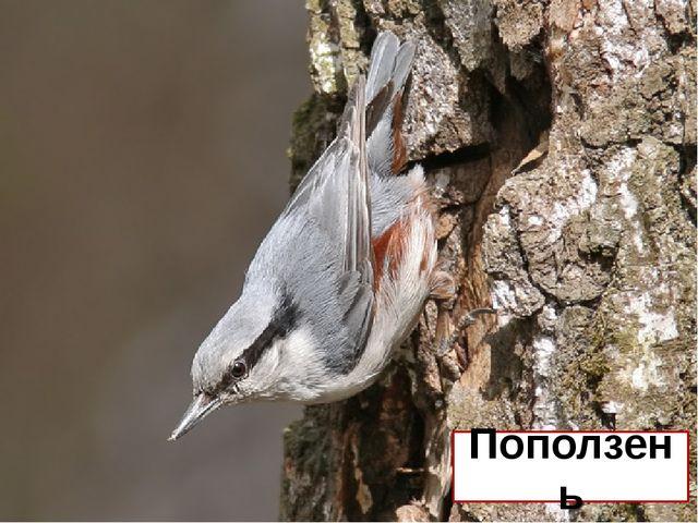 Какая наша птица может ползать по стволу вниз головой? Поползень