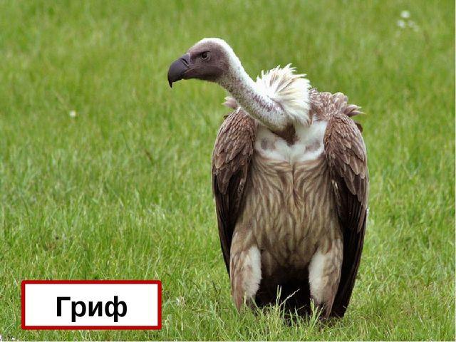 Какие птицы самые дальнозоркие? Гриф
