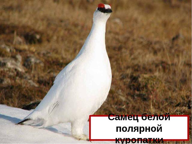 Какая птица лает, как собака? Самец белой полярной куропатки
