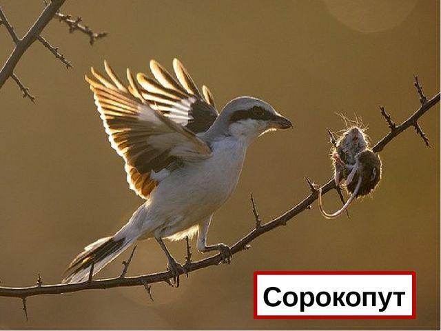 Какая птица накалывает добычу на колючки кустарника? Сорокопут