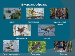 Биоразнообразие Чайки Трясогузка Черношейная поганка Чернозобик Фифи Погоныш