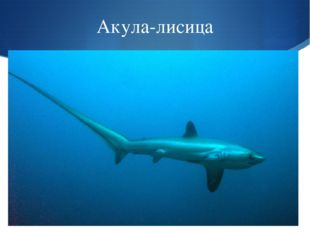 Акула-лисица