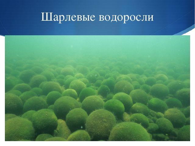 Шарлевые водоросли