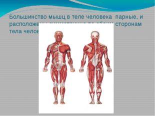 Большинство мышц в теле человека парные, и расположены симметрично по обеим с