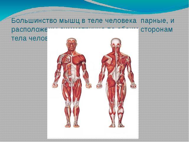 Большинство мышц в теле человека парные, и расположены симметрично по обеим с...