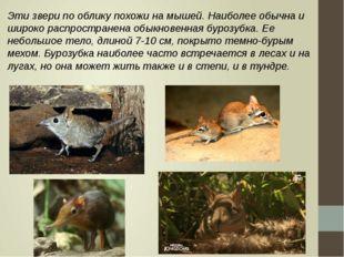 Эти звери по облику похожи на мышей. Наиболее обычна и широко распространена