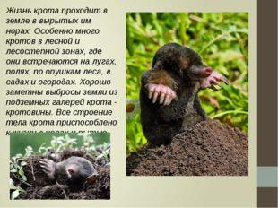 Жизнь крота проходит в земле в вырытых им норах. Особенно много кротов в лесн