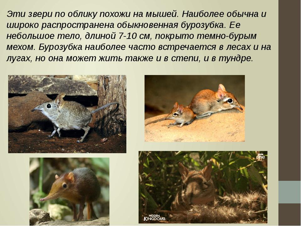 Эти звери по облику похожи на мышей. Наиболее обычна и широко распространена...