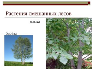 Растения смешанных лесов ольха берёза
