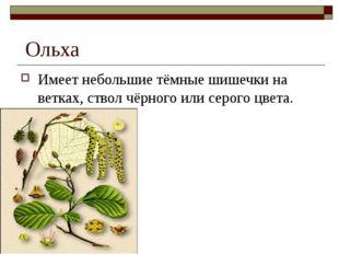 Ольха Имеет небольшие тёмные шишечки на ветках, ствол чёрного или серого цве
